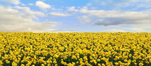 Daffodil Field backdrop